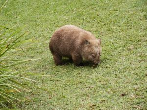 A wombat on grass