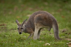 Kangaroo eating grass